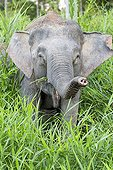 Borneo Pygmy Elephant  - Sabah Malaysia ; Kinabatangan river bank