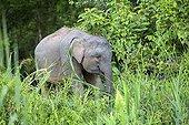 Young Borneo Pygmy Elephant  - Sabah Malaysia ; Kinabatangan river bank