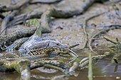 Common Water Monitor on the bank - Sabah Malaysia ; Kinabatangan river banks