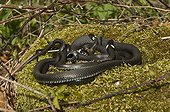 Grass Snakes on moss - Denmark