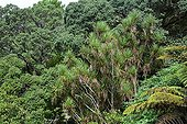 Cabbage tree in forest - New Zealand