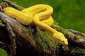 Eyelash viper on mossy branch ; Origin: Central America