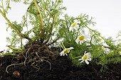Living herbarium with german chamomile in studio
