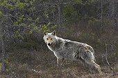 Grey Wolf standing in woodland - Finland