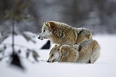 Grey Wolf with Raven through deep snow in wetlands - Finland