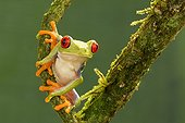 Red-eyed tree frog on mossy branch - Costa Rica