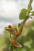 Red-eyed tree frog on branch - Costa Rica