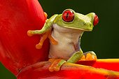Red-eyed tree frog on Heliconia - Costa Rica
