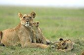 Lioness and Cubs in the savanna - Masai Mara Kenya