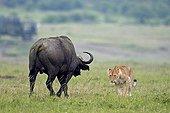 Lioness face a Buffalo in savanna - Masai Mara Kenya