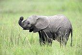 Young African elephant in savanna - Masai Mara Kenya