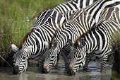 Plain zebras drinking at a waterhole - Masai Mara Kenya