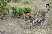 Leopard walking in savanna - Masai Mara Kenya