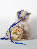 Half Persian blue point kitten playing with tape and string  ; Age: 6 weeks
