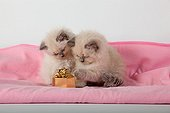 Half Persian blue point kitten and gift on pink blanket  ; Age: 6 weeks