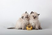 Half Persian blue point kitten and gift  ; Age: 6 weeks