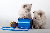 Half Persian blue point kittens and coil curling blue ribbon ; Age: 6 weeks