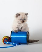 Half Persian blue point kitten and coil curling blue ribbon ; Age: 6 weeks