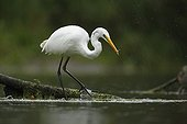 Great Egret fishing in the rain - Offendorf Alsace France