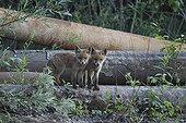 Red Foxes in brownfield - Offendorf Alsace France
