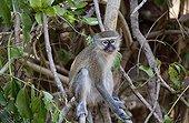 Black-faced vervet monkey on branch - South Luangwa Zambia