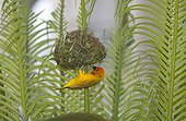 Golden weaver on newly constructed nest - Kenya