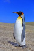 King penguin on the shore - Falkland Islands