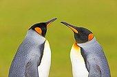 Portrait of King Penguins facing- Falkland Islands