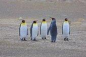 King penguins on coast - Falkland Islands