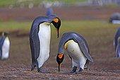 King penguins courtship display - Falkland islands