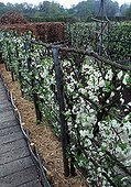 Plum trees in bloom in a garden