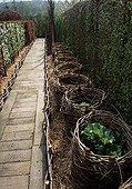 """Barrel protection"" around rhubarb in a garden"