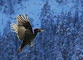 Black Woodpecker in flight in the snow - Posio Finland