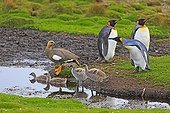King penguins and Upland goose with chicks - Falklands