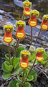 Lady's Slipper flowers en rocks  - Falkland Islands