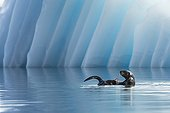 Sea Otter in front of an iceberg - College Fjord Alaska