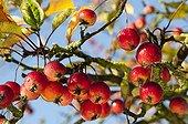 Crabapple tree in fruit in a garden