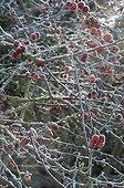 Crabapple tree 'Everest' under frost in a garden in winter