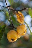 Crabapple tree 'Yellow Siberian' in fruit in a garden