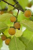 Date plum in fruit in a garden