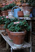 Pelargoniums over wintering in a garden