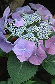 Hydrangea in bloom in a garden