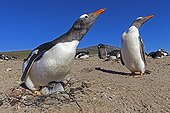Gentoo penguins and chick nesting -  Falkland Islands