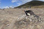 Manchot papou nichant dans une colonie - Iles Malouines ; Manchot papou nichant seul après le départ des autres suite aux attaques des oiseaux prédateurs