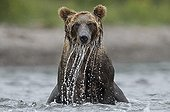 Brown Bear fishing on water - Kuril Lake Kamchatka Russia