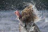 Brown Bear catching a Salmon - Kuril Lake Kamchatka Russia