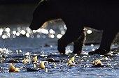 Brown Bear fishing Salmons - Kuril Lake Kamchatka Russia