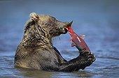 Brown Bear eating a Salmon - Kuril Lake Kamchatka Russia
