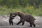Brown Bear and cub on bank - Kuril Lake Kamchatka Russia