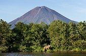 Brown Bear on bank and volcano - Kuril Lake Kamchatka